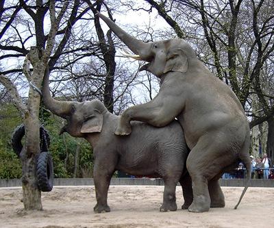 elefante-fazendo-sexo