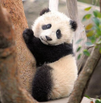 panda-chines