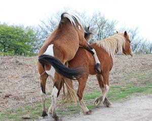 cavalo-sexo