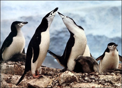 pinguins_gays_