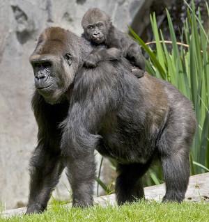 gorila_pai_pdh